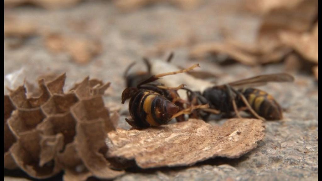 Eliminen un rusc de vespa asiàtica d'una casa de Sant Esteve de Guialbes